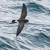 New Zealand Storm-Petrel was thought extinct in 1850 but rediscovered in 2003. We now see it regularly on the extension. Photo by participant Gregg Recer.