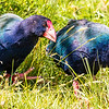 South Island Takahe, photographed by participant Gregg Recer.