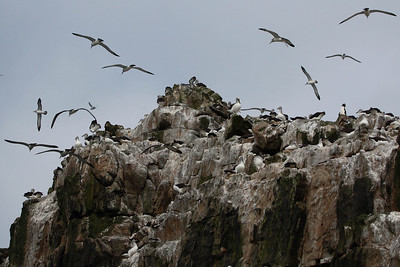 Albatrosses over The Bounties. Photo by guide Chris Benesh.