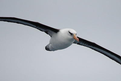 Campbell Albatross. Photo by guide Chris Benesh.