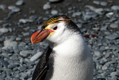 The distinctive Royal Penguin, with it huge bill. Photo by guide Chris Benesh.