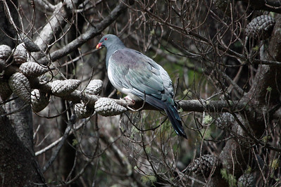 Chatham Island Pigeon. Photo by guide Chris Benesh.