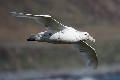 "A ""White Nellie"" a.k.a. Southern Giant-Petrel. Photo by guide Chris Benesh."