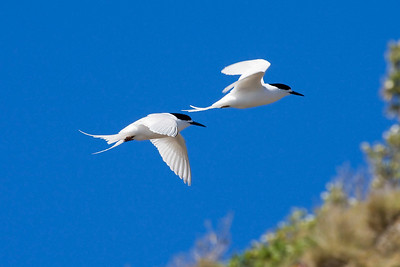 White-fronted Terns, photographed by participant Dave Semler