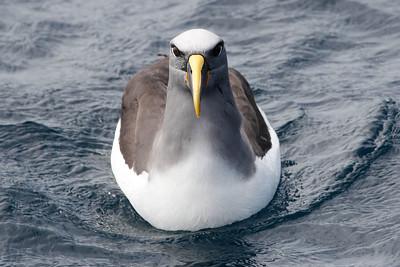Buller's Albatross. Photo by guide Chris Benesh.