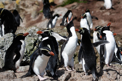Snares Penguins, by guide Chris Benesh