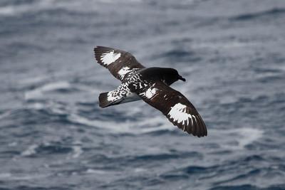 Cape Petrel. Photo by guide Chris Benesh.