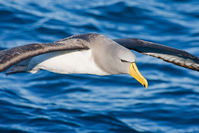 Chatham Albatross, photographed by participant Dave Semler