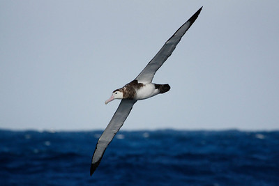 Antipodean Albatross. Photo by guide Chris Benesh.