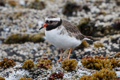 Shore Plover. Photo by guide Chris Benesh.