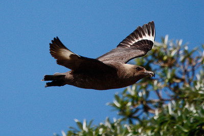 A Snares Brown Skua, by guide Chris Benesh