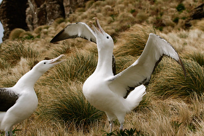 Southern Royal Albatrosses. Photo by guide Chris Benesh.
