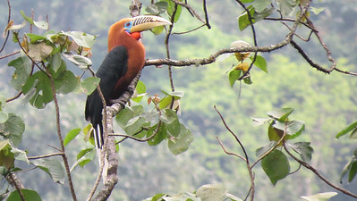 A male Rufous-necked Hornbill below Bompu. Photo by guide Phil Gregory.