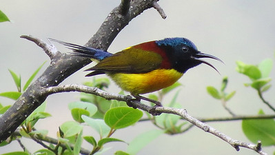 Green-tailed Sunbird is among the flashy birds we'll see. Photo by guide Phil Gregory.