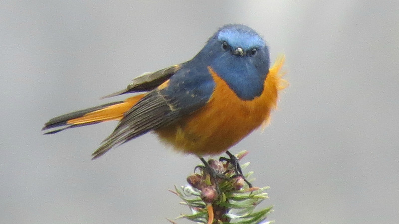 Blue-fronted Redstart at Se La. Photo by guide Phil Gregory.