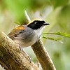Black-cheeked Gnateater by participant Holger Teichmann