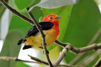 Band-tailed Manakin by participant Holger Teichmann