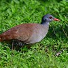 Small-billed Tinamou by participant Brian Stech