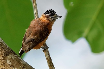 Tawny Piculet by participant Holger Teichmann