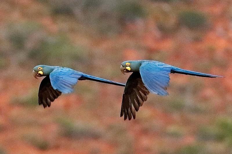 Indigo (Lear's) Macaws by participant Holger Teichmann