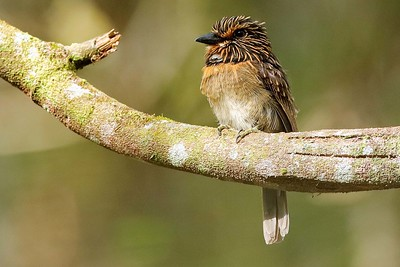 Crescent-chested Puffbird by participant Holger Teichmann
