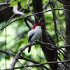 Araripe Manakin by participant David Sedgeley