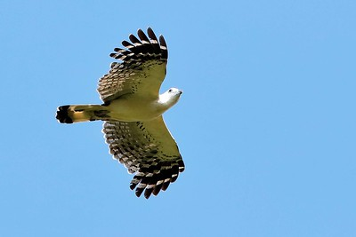 The rare White-collared Kite by participant Holger Teichmann
