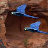 Glorious Indigo (Lear's) Macaws at Raso da Caterina by participant Brian Stech