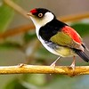 Pin-tailed Manakin by participant Holger Teichmann
