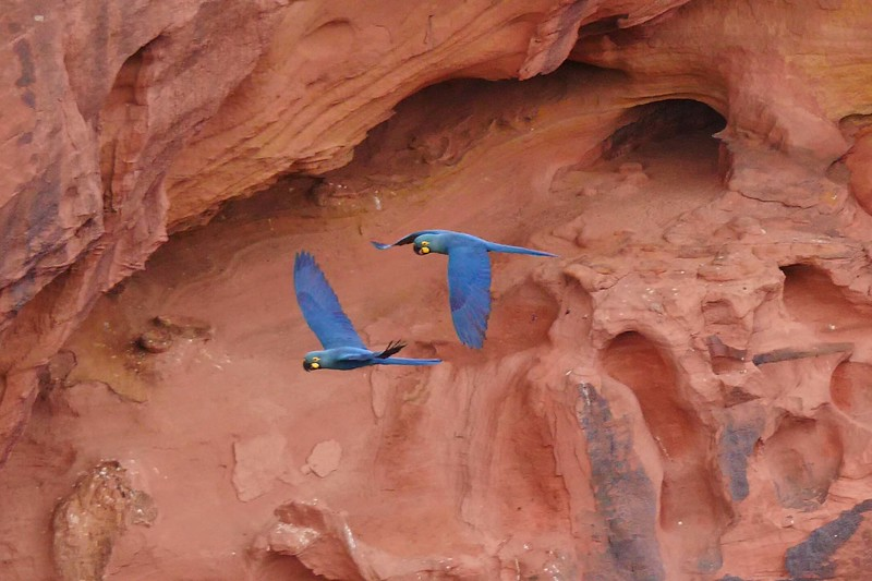 Indigo (Lear's) Macaws by guide Bret Whitney