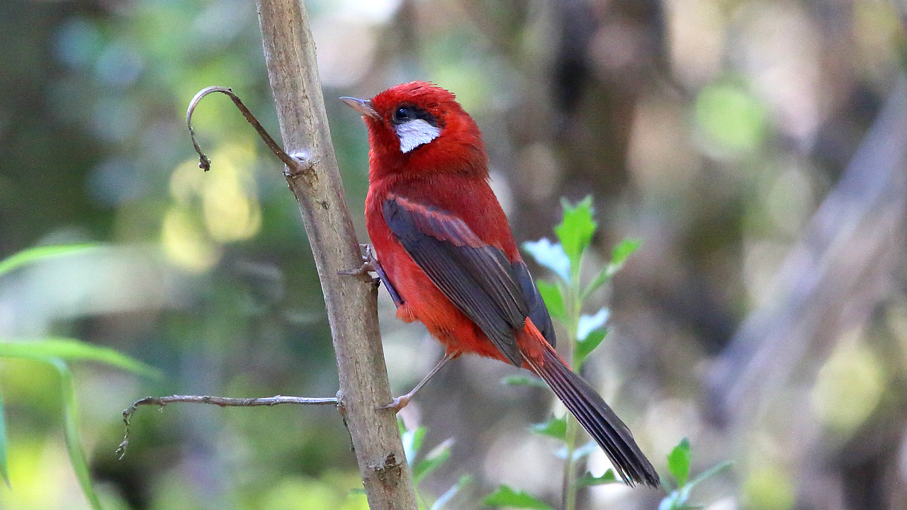 These images from past tours begin with Red Warbler, a beautiful endemic quite common on Cerro San Felipe. Photo by participant Timothy Skillin.