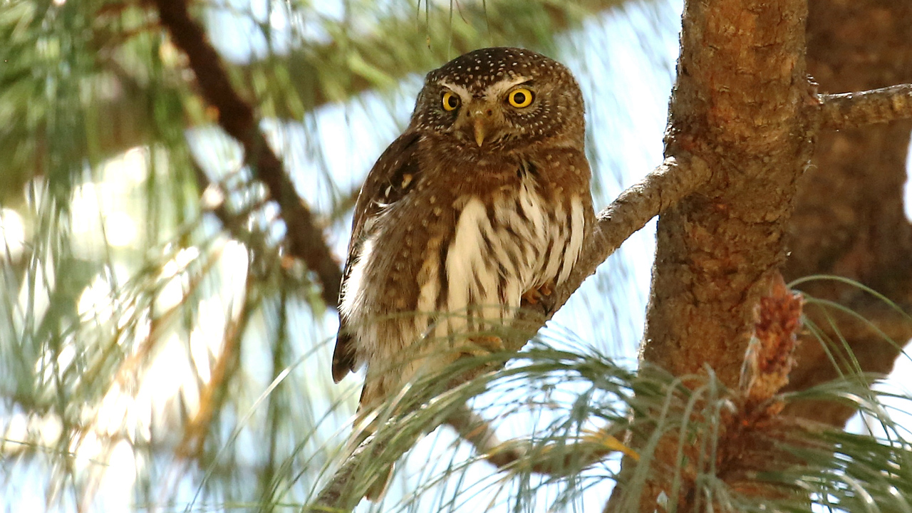 """Mountain"" Northern Pygmy-Owl is often followed by an excited mob of songbirds hoping to drive it off. Photo by participant Ron Majors."