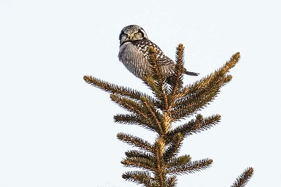 Northern Hawk Owl by participant Don Taves
