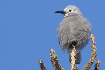 Clark's Nutcracker by participant Sarah Lane