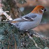 Pine Grosbeak by participant Barry Tillman