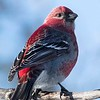 Pine Grosbeak by participant Don Taves