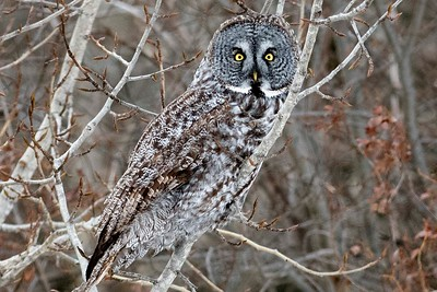 Great Gray Owl by participant Don Taves