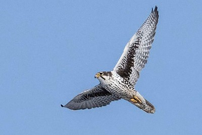 Prairie Falcon by participant Don Taves