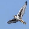 Prairie Falcon by participant Don Taves
