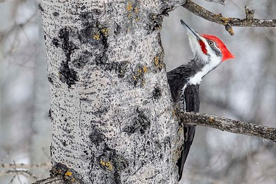 Pileated Woodpecker by participant Don Taves