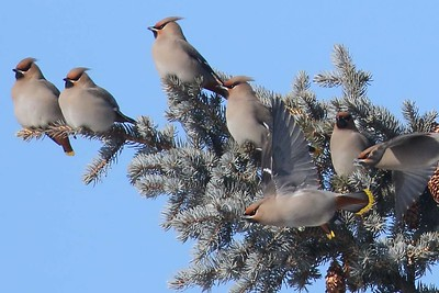 Bohemian Waxwings by participant Sarah Lane