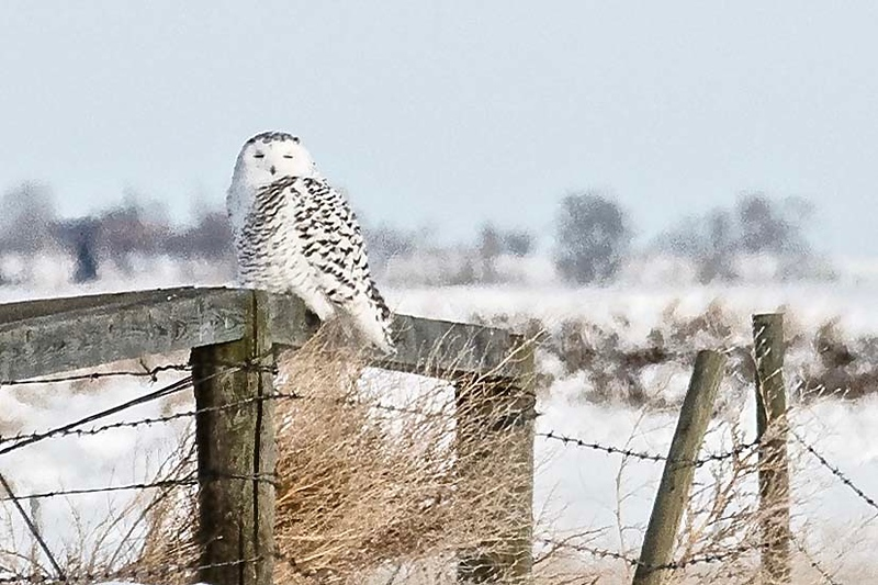 Snowy Owl by participant Don Taves