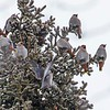 Bohemian Waxwings at Calgary by participant Barry Tillman