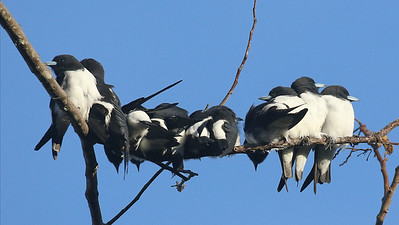 Great Woodswallows crowd onto a perch. Photo by participant Steve Rannels.