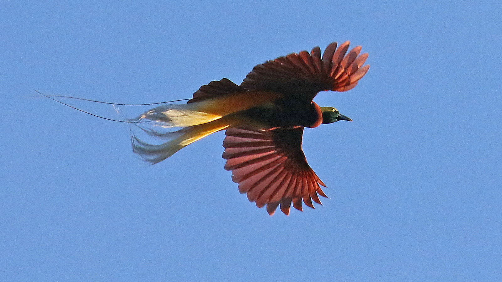 """Lesser Bird-of-Paradise, one of 20 """"BoPs"""" in 2016, by participant Steve Rannels."""
