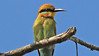 Everybody loves Rainbow Bee-eaters. Photo by participant Steve Rannels.