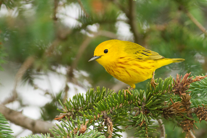 Some of the warblers along our tour route are rather common, like this Yellow Warbler. We are sure to run into this lovely, widespread species again and again in open habitats in Pennsylvania, especially near lakes and rivers. The males, like this one, are marked with a series of orange-red streaks on their underparts. Photo by guide Tom Johnson.