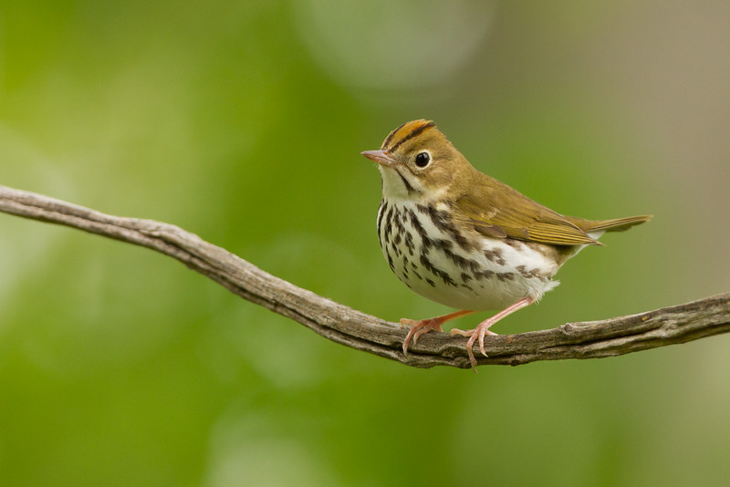 While seeing an Ovenbird can be challenging, we'll follow the chanting, repetitive song of this enchanting little thrush-warbler until we spot it walking along a thin branch. Ovenbirds will accompany us through most forests that we visit along our journey across Pennsylvania. Photo by guide Tom Johnson.