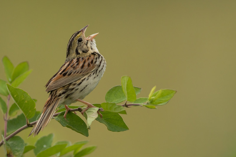 This uncommon sparrow has undergone a range contraction in recent years as its favored habitat (grasslands dotted with small shrubs) has disappeared in the midwestern US. John James Audubon named Henslow's Sparrow after John Stevens Henslow, a mentor to Charles Darwin and the man who recommended Darwin as a ship's naturalist to Captain Fitzroy of the legendary HMS Beagle. In Pennsylvania, the species persists primarily on reclaimed grasslands that bear the scars of strip mining, and we will visit this modified habitat specifically to search out these persistent songsters. Photo by guide Tom Johnson.
