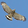 Broad-winged Hawk,  by guide Tom Johnson